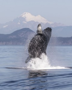 Humpback Breach.Mt Baker.72dpi.K'sBlog.GB.5642