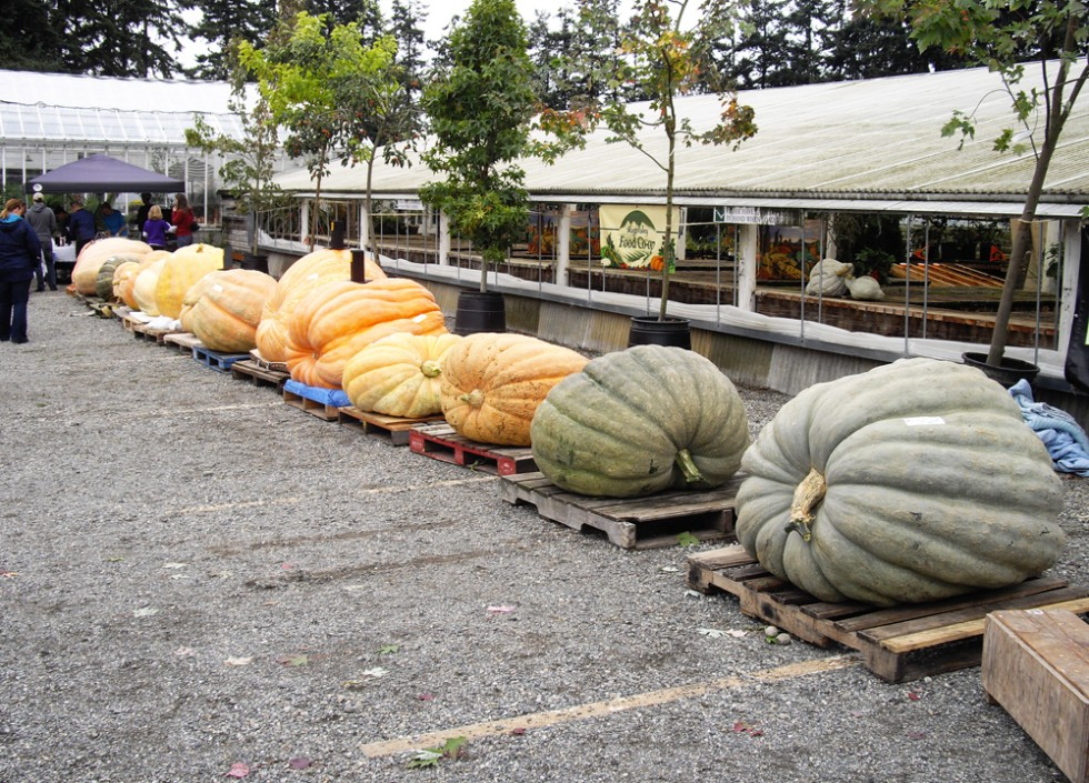 The line-up of 23 Atlantic Giant pumpkins and squashes today, (Sept. 27, 2014) at the Fourth Annual Skagit Valley Giant Pumpkin Festival at Christianson's Nursery in Mount Vernon.